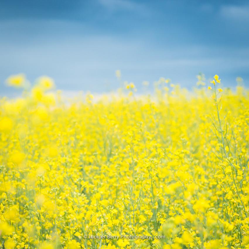 Barrhead County, fields of yellow